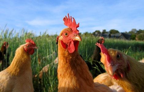 Чем кормить домашнюю птицу летом? Продукты с содержанием витаминов