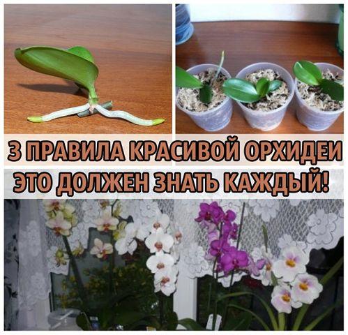 Орхидея правила ухода в домашних условиях и как пересадить