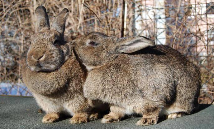 Советы бывалых кролиководов