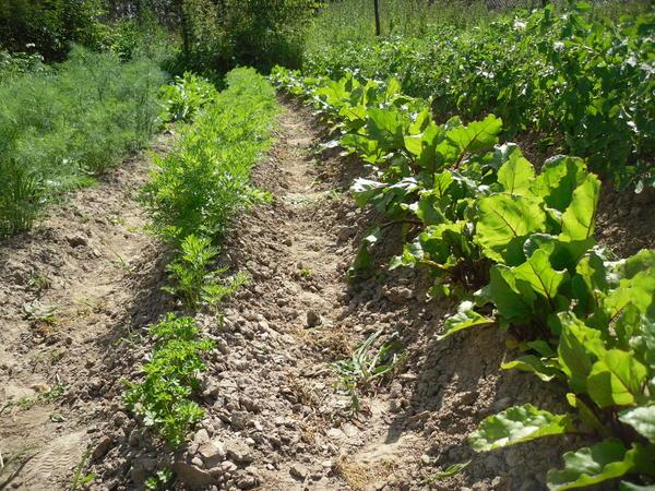 Огород на картофельнике