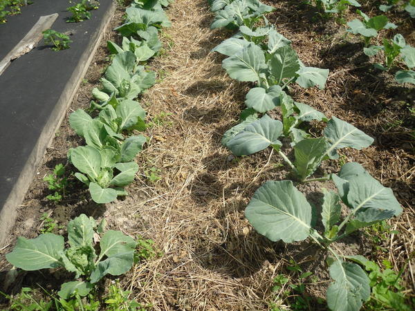 Капусту оказалось удобнее выращивать рядками, мульчируя междурядья травой